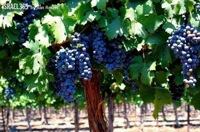 good grapes 00